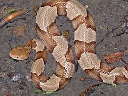 Copperheads Have Been Spotted